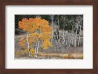 Framed Late Autumn Aspens