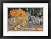 Framed Late Autumn Aspens