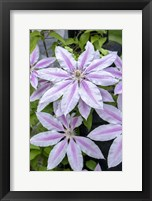 Framed Nelly Moser, Clematis