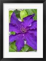 Framed Purple Clematis 1
