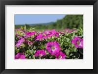 Framed Pink Petunias, New England