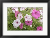 Framed Pink And White Petunias