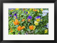Framed Pansies With Morning Dew