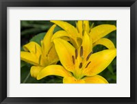Framed Yellow Daylily