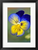 Framed Blue And Yellow Pansy
