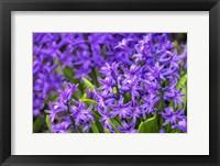 Framed Purple Hyacinth