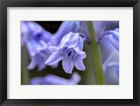 Framed English Wood Hyacinth 1