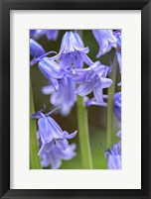 Framed English Wood Hyacinth 2