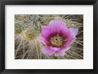 Framed Flowers On Engelmann's Hedgehog Cactus