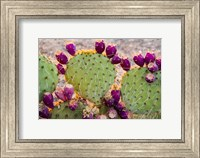 Framed California Prickly Pear Cactus