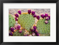 Framed California Prickly Pear Cactus