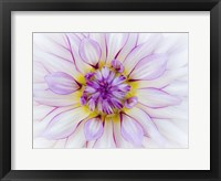 Framed Purple & White Dahlia