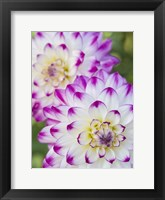 Framed Pair Of Dahlias