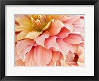 Framed Peach Dahlia