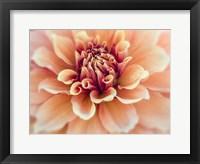 Framed Peachy Dahlia