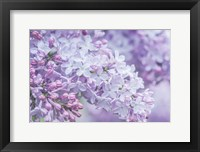 Framed Lilac Close-Up