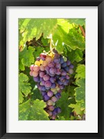 Framed Santa Barbara Grapes