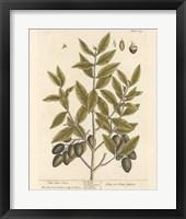 Framed Olive Branch II