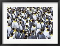 Framed King penguin colony, Antarctica