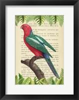 Framed Australian king parrot, After Levaillant