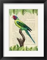 Framed Plum-Headed Parakeet, After Levaillant