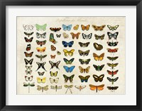 Framed Papillons du Monde, After D'Orbigny