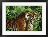 Framed Two Bengal Tigers