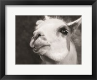 Framed Lake Tobias Alpaca