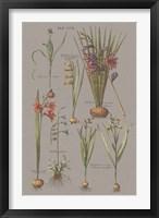 Florilegium III Gray Framed Print