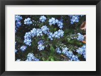 Framed Forget Me Nots IV