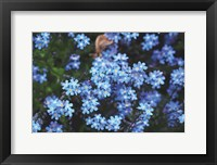 Framed Forget Me Nots III