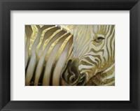 Framed Zebra Codex