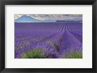 Framed Lavender Fields Provence