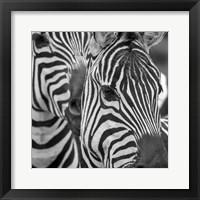 Framed Zebra 2