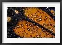 Framed Monarch Butterfly 6