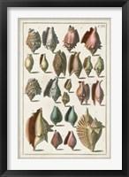 Framed Grand Seba Shells III