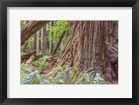 Framed Ancient Beauty At Stout Grove