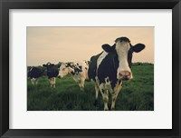 Framed Cows at Sunset