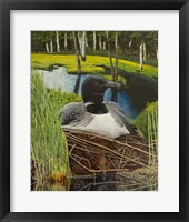Framed Loon on nest