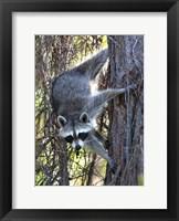 Framed Raccoon 1