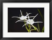 Framed Traub's Spider Lily