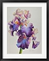 Framed Florentine Iris