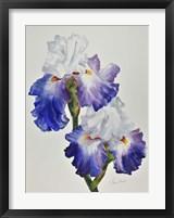 Framed Royal Storm Iris