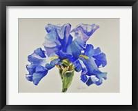 Framed Ruffled Iris