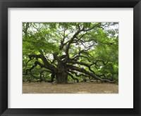 Framed Angel Oak Tree