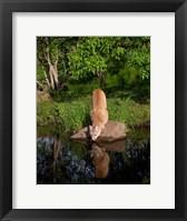 Framed Cougar Drinking