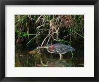 Framed Green Heron