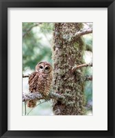 Framed Mexican Spotted Owl