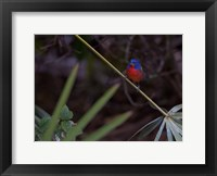 Framed Painted Bunting Male