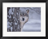 Framed Wolf Watching